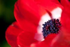 1024px-Flower,_Anemone_-De_Caen-_-_Flickr_-_nekonomania_(1)